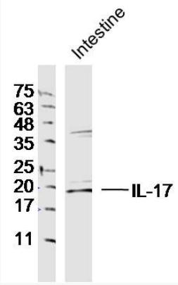 Western blot analysis of Rat Intestine cell Lysate using IL17A antibody