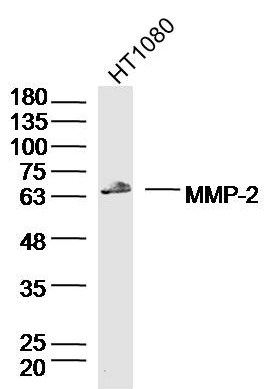 Western blot analysis of Human HT1080 Cell Lysate using MMP-2 antibody