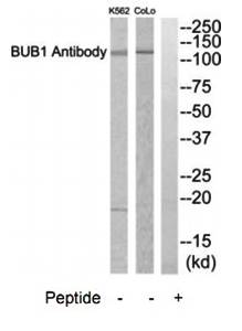 Western blot analysis of extracts from COLO205 cells using BUB1 antibody