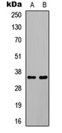 Western blot analysis of HEK293T EGF-treated (Lane 1), COLO205 EGF-treated (Lane 2) whole cell lysates using C/EBP beta (phospho-T235) antibody