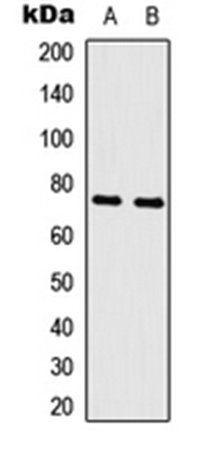 Western blot analysis of K562 (Lane1), rat skeletal muscle (Lane2) whole cell using c-Myb antibody