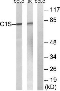 Western blot analysis of extracts from Jurkat cells and COLO cells using C1S antibody