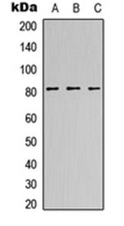 Western blot analysis of HeLa (Lane1), NS-1 (Lane2), H9C2 (Lane3) whole cell using CANP antibody