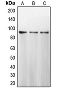 Western blot analysis of MCF7 (Lane 1), HeLa (Lane 2), MDAMB231 (Lane 3) whole cell lysates using CANX antibody