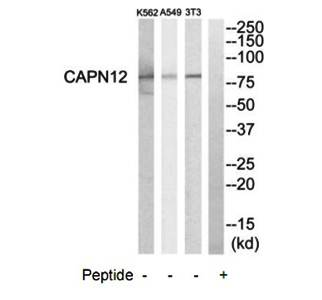 Western blot analysis of extracts from NIH-3T3 cells, A549 cells and K562 cells using CAPN12 antibody