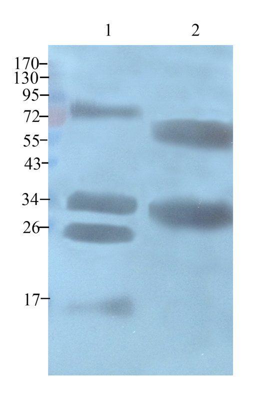 Western blot analysis of bovine milk (lane 1), casein protein (lane 2) using casein antibody (1 ug/ml)