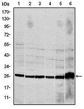 Western blot analysis of Hela (Lane1), Jurkat (Lane2), THP-1 (Lane3), NIH/3T3 (Lane4), Cos7 (Lane5) and PC-12 (Lane6) cell lysate using CASP8 antibody