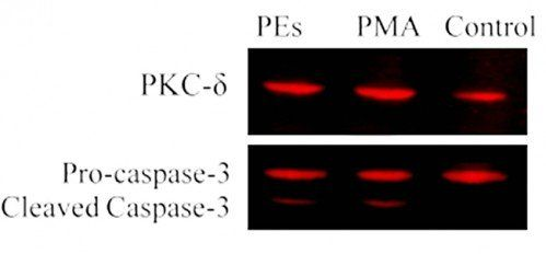 Western blot analyses for PKC-δ, Caspase-3 and GAPDH protein expression in MCF-7 cell line