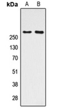 Western blot analysis of HeLa (Lane1), NIH3T3 (Lane2) whole cell using CBP antibody