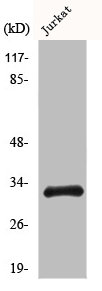 Western blot analysis of COLO205 cells using CCNB1IP1 antibody