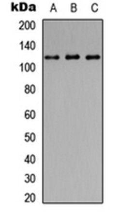 Western blot analysis of HEK293T (Lane1), Raw264.7 (Lane2), H9C2 (Lane3) whole cell using CD107a antibody
