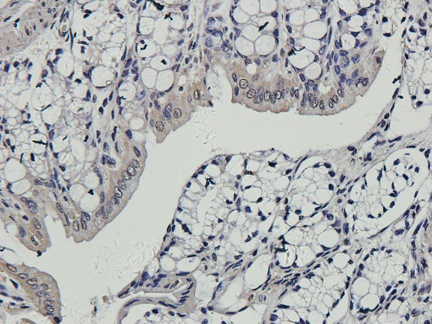 Immunohistochemical staining of guinea pig colon tissue using anti-CD163 (2.5 ug/ml)