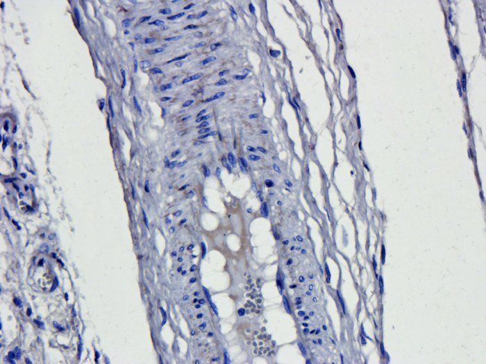 IHC-P staining of pig lung tissue using anti-CD163 (dilution at 1:200)