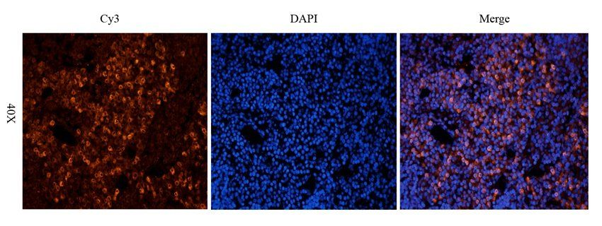 Immunofluorescence analysis of rat lymph node tissue using anti-CD19 (2.5 ug/ml)