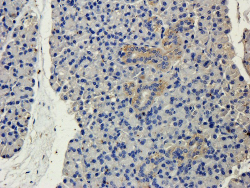 Immunohistochemical staining of paraffin embedded mouse lymph node tissue using anti-CD19 (primary antibody at 2.5 ug/ml)