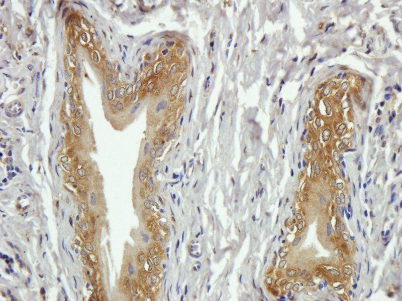 Immunohistochemical staining of paraffin embedded rat lymph node tissue using anti-CD20 (primary antibody at 2.5 ug/ml)