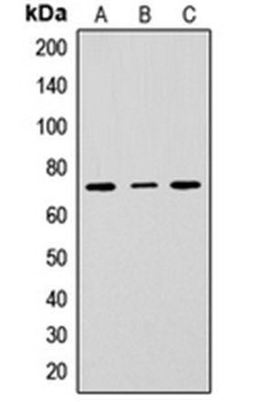 Western blot analysis of HepG2 (Lane1), Raw264.7 (Lane2), H9C2 (Lane3) whole cell using CD229 antibody