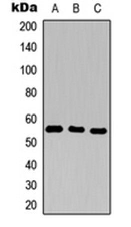 Western blot analysis of THP1 (Lane1), H9C2 (Lane2), Raw264.7 (Lane3) whole cell using CD25 antibody
