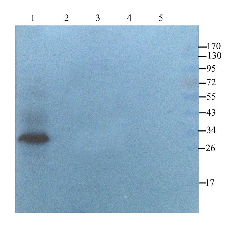 Western blot analysis of  mouse heart (lane 1), rat muscle  (lane 2), rat lung (lane 3), rat thymus (lane 4), rat lymph node (lane 5)  using  CD274 antibody  (2.5 ug/ml)