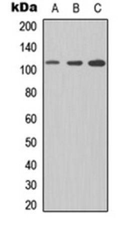 Western blot analysis of Jurkat (Lane1), NS-1 (Lane2), PC12 (Lane3) whole cell using CD307e antibody