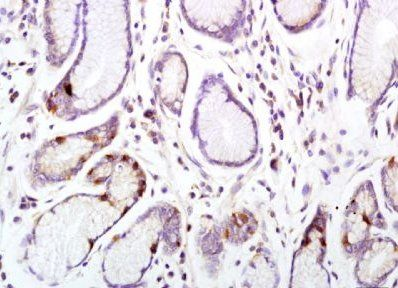 Immunohistochemical analysis of formalin-fixed paraffin embedded  mouse intestine tissue using anti CD33 (primary antibody at:1:200)