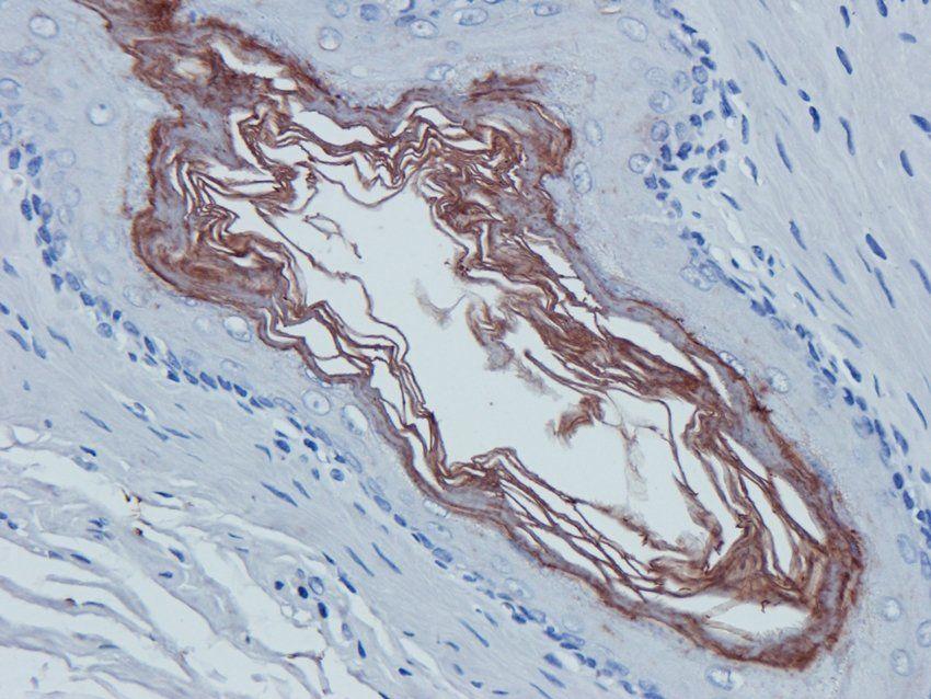 IHC-P image of rat stomach tissue using anti-CD38 (2.5 ug/ml)