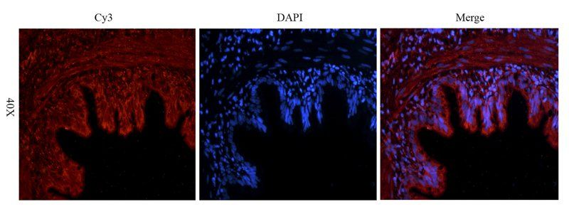 Immunofluorescence image of rat lung tissue using Reelin antibody (2.5 ug/ml)