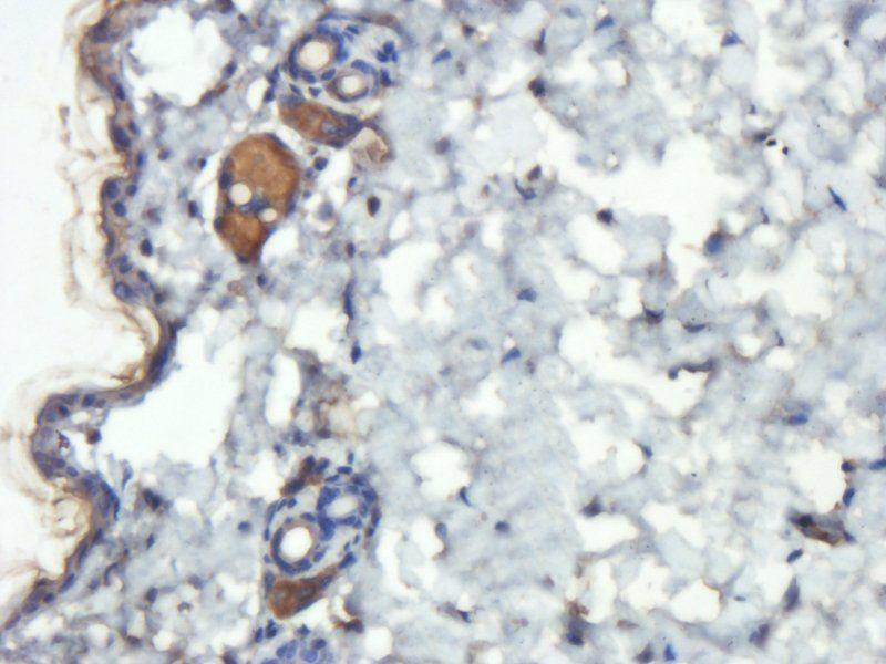 Immunohistochemical staining of mouse skin tissue using anti-CD45 (2.5 ug/ml)