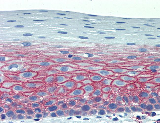 Immunohistochemical staining of human tonsil using CD82 antibody