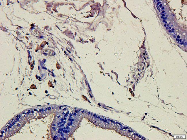 IHC-P staining of rat prostate tissue using CD86 antibody (2.5 ug/ml)
