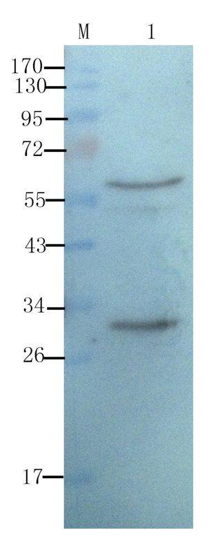 WB analysis of rat thymus (lane 1) using CD8 antibody (1 ug/ml)