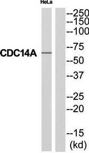 Western blot analysis of extracts from HeLa cells using CDC14A antibody