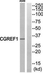 Western blot analysis of extracts from A549 cells using CGREF1 antibody