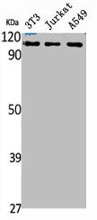 Western blot analysis of NIH-3T3(Lane 1), Jurkat(Lane 2), A549(Lane 3) cells using CHD1L antibody