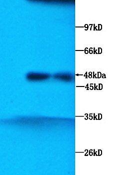 Western blot analysis of mice liver tissue lysate using Chromogranin A antibody
