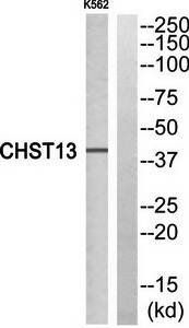 Western blot analysis of extracts from K562 cells using CHST13 antibody