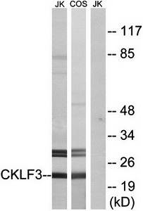 Western blot analysis of extracts from Jurkat cells and COS cells using CKLF3 antibody
