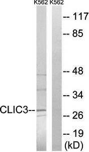 Western blot analysis of extracts from K562 cells using CLIC3 antibody
