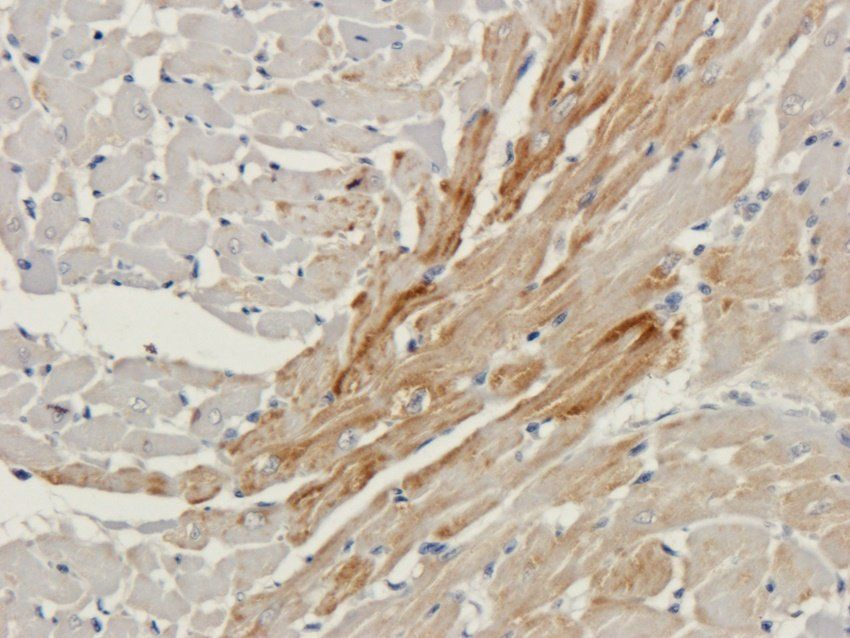 IHC-P image of rat heart tissue using anti-Connexin 40 (2.5 ug/ml)