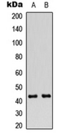 Western blot analysis of Jurkat (Lane1), A549 (Lane2) whole cell using Connexin 43 (phospho-S368) antibody