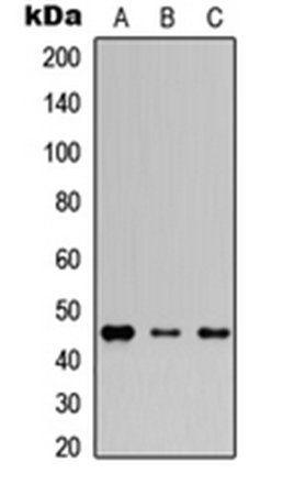 Western blot analysis of HEK293T (Lane1), Raw264.7 (Lane2), H9C2 (Lane3) whole cell using Connexin 46 antibody