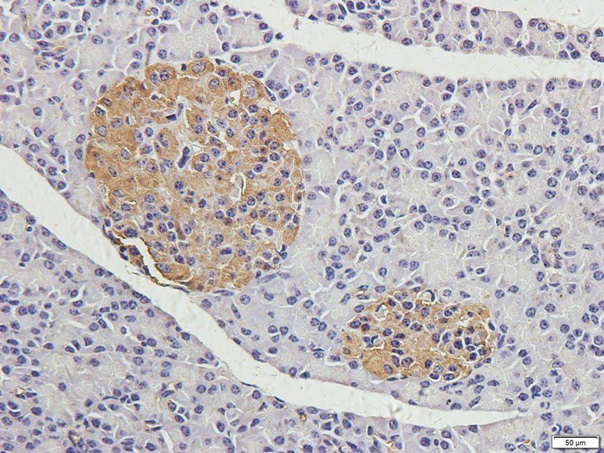 Immunohistochemical staining of guinea pig pancreas tissue using CRUM3 antibody (2.5 ug/ml)