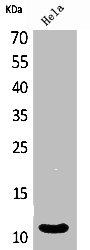 Western blot analysis of HeLa cells using CXCL8 antibody