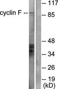 Western blot analysis of extracts from HeLa cells using Cyclin F antibody