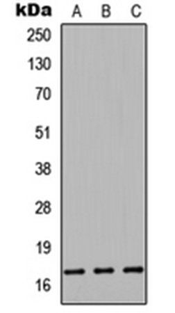 Western blot analysis of HEK293T (Lane1), Raw264.7 (Lane2), PC12 (Lane3) whole cell using Cystatin 9L antibody