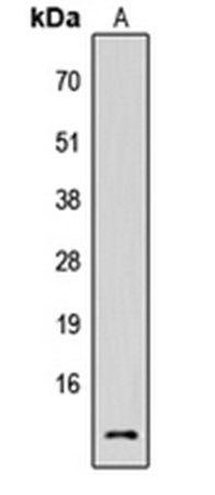 Western blot analysis of HEK293T (Lane1) whole cell using Cystatin C antibody