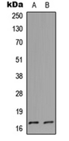 Western blot analysis of HeLa (Lane1), PC12 (Lane2) whole cell using Cystatin L1 antibody