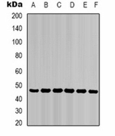 Western blot analysis of HepG2 (Lane 1), Hela (Lane 2), mouse liver (Lane 3), mouse skeletal muscle (Lane 4), C2C12 (Lane 5), rat heart (Lane 6) whole cell lysates using Cytokeratin 18 antibody