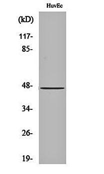 Western blot analysis of HuvEc cell lysates using Cytokeratin 18 antibody