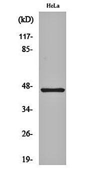 Western blot analysis of Hela cell lysates using Cytokeratin 18 antibody